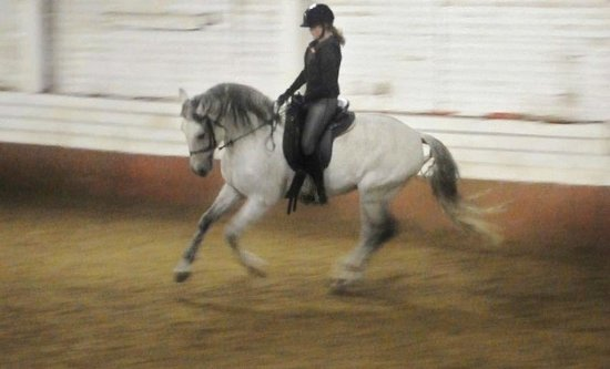 Bigland Hall Equine Group: Sabio, their Lusitano Stallion who I've learnt so much from