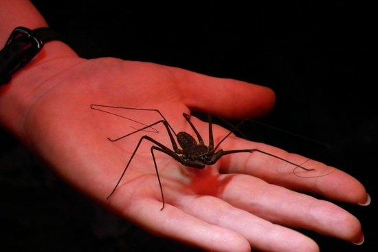 Drake Bay, Kosta Rika: Whip scorpion