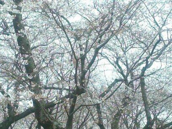 Akebonoyama Agricultural Park: 桜山の桜