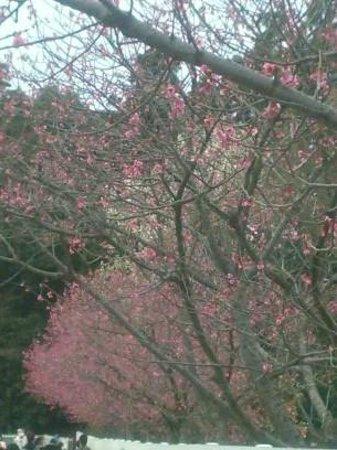 Akebonoyama Agricultural Park: 濃紅の寒緋桜