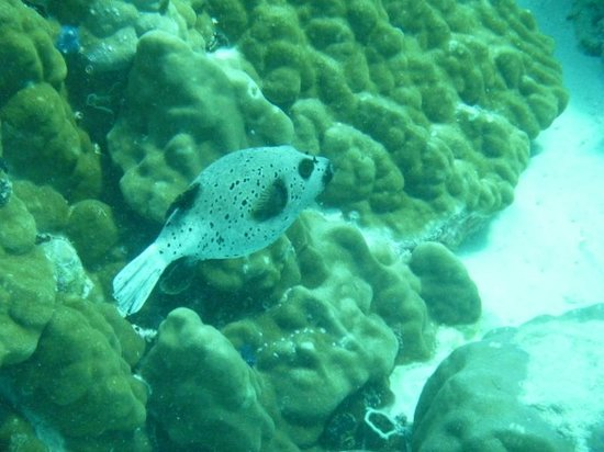 Baracuda Diving - Day Tours : Puffer fish