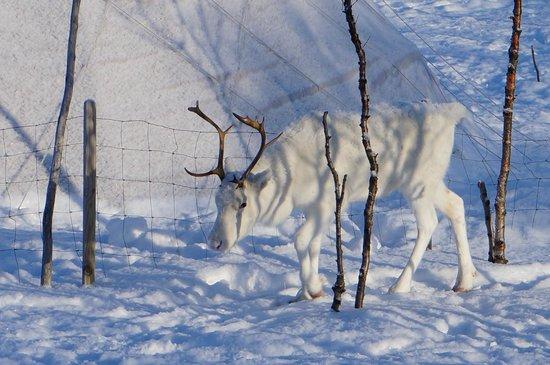 Kirkenes Snowhotel: Nearby Reindeer