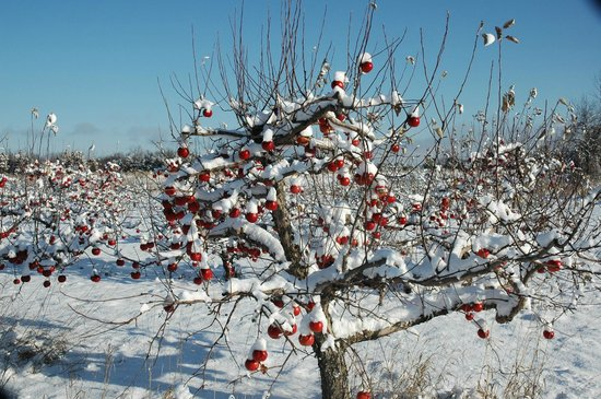 County Cider Company & Estate Winery : Winter apples for our Ice Cider