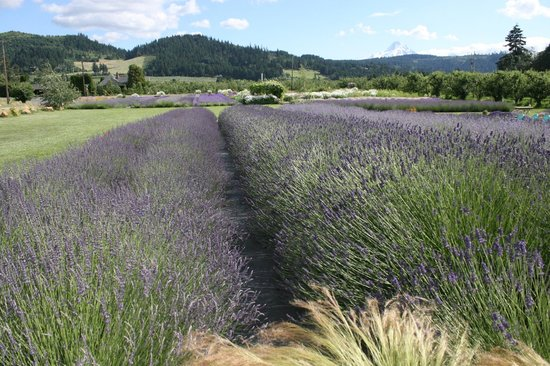 Hood River Lavender: Lavender fields with Mt. Hood in the background.
