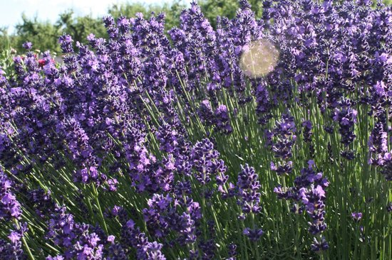 Hood River Lavender: A closer look at the lavender.