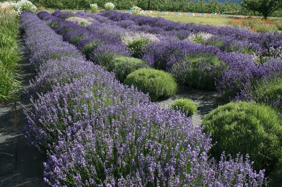 Hood River Lavender: A field showing various types of lavender.