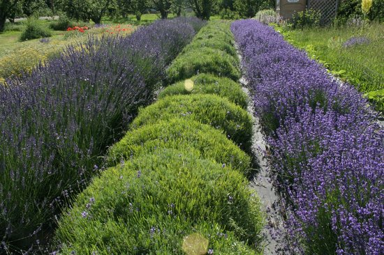 Hood River Lavender: Lavender field. The green area is where the the lavender has already been cut.