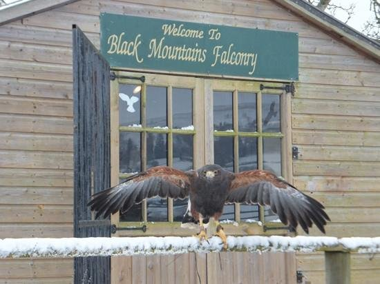 Black Mountains Falconry Centre: Flying completely free