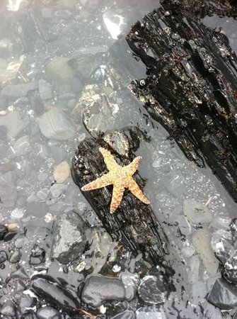 Agate Beach: Live starfish