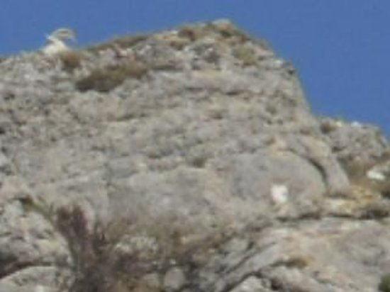 huge mountain goat on Gt Orme
