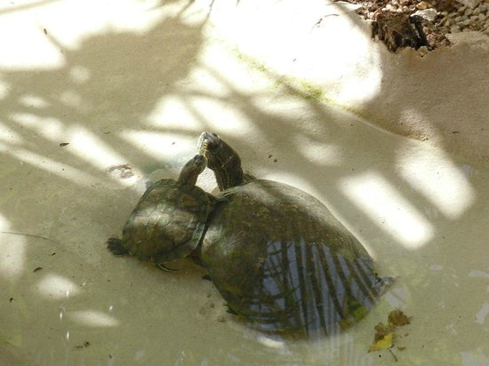 El Acuario Hotel: Sweet turtles - hotel inhabitants