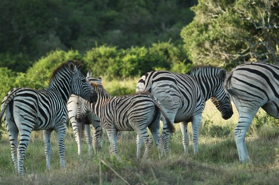 Sibuya Game Reserve: 4 -Star Luxury Tented Camps and Lodge : Zebra stripes