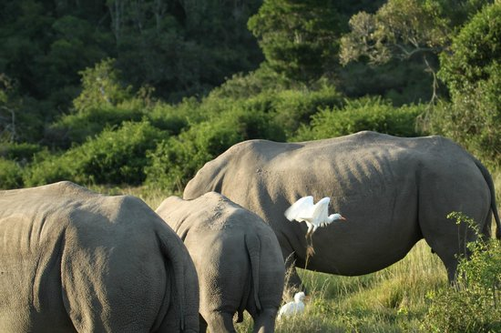 Sibuya Game Reserve: 4 -Star Luxury Tented Camps and Lodge: Egret meets Rhino