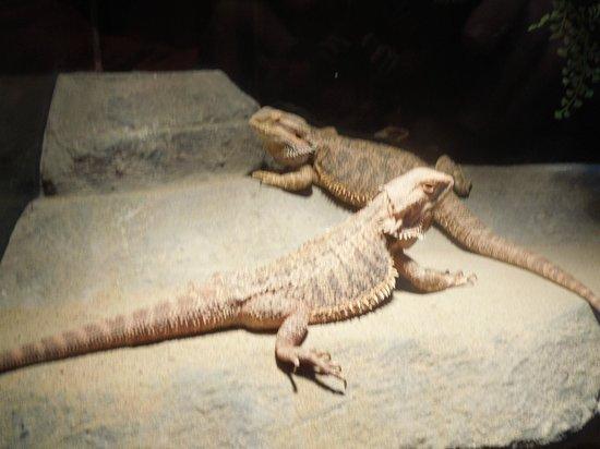 Nova Scotia Museum of Natural History: bearded dragons