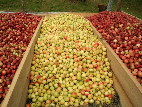 Hilde's Residence: Apple harvest