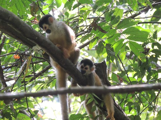 Agua Dulce Beach Resort: Squirrel Monkeys from a hike with Randall
