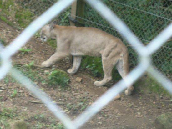 La Reserva de Fauna : Puma