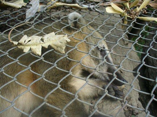 La Reserva de Fauna : Coatí tirado mal
