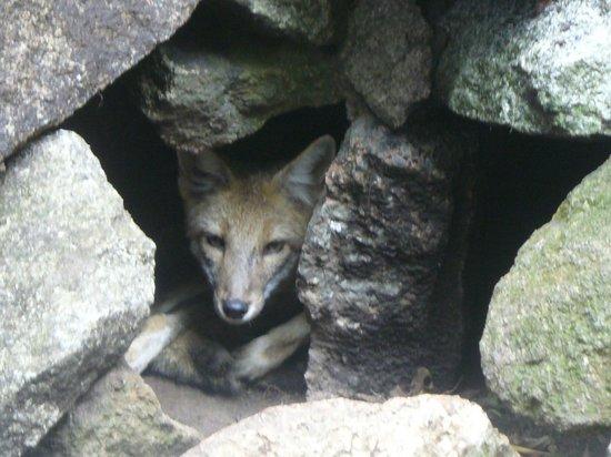 La Reserva de Fauna : Zorro lastimado