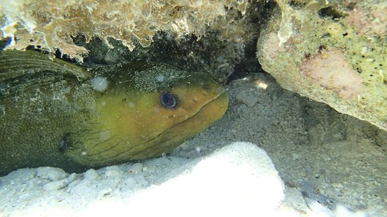 Pelican Beach - South Water Caye: Green Moray just off the beach