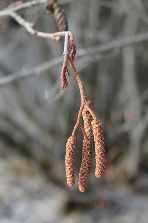 House on Metolius: Willows preparing for spring.