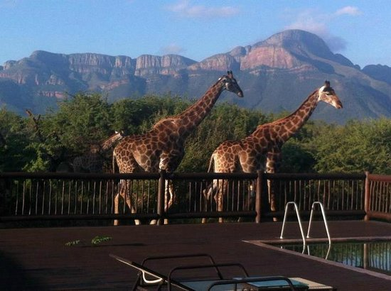 Giraffes by our pool