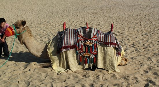 บ๊าบอัลชามส์ เดเสิร์ท รีสอร์ท แอนด์ สปา: Camels for riding