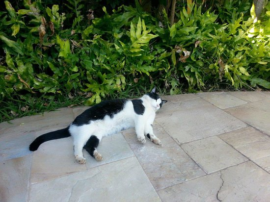 Maui Coast Hotel: See if you can find the happiest cat in the world