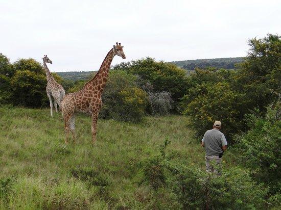 Schotia Safaris Private Game Reserve: Pirschfahrt Girafe