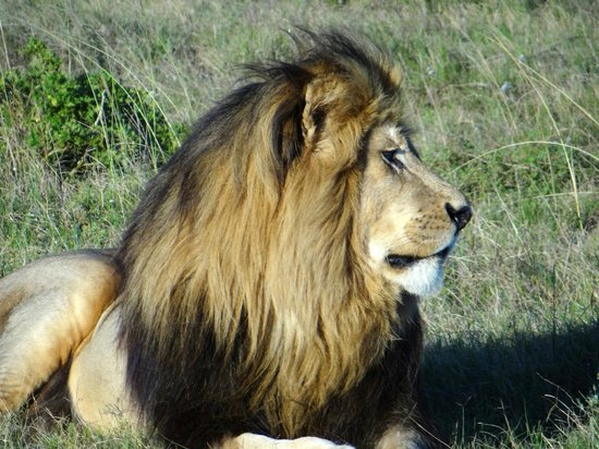 Schotia Safaris Private Game Reserve: Löwe