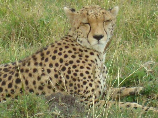 Fairmont Mara Safari Club: Are Cheetah's beautiful?
