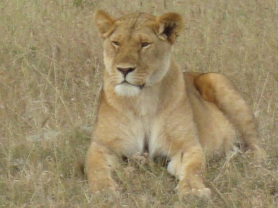 Fairmont Mara Safari Club: A Lioness amongst it's Pride of 11.