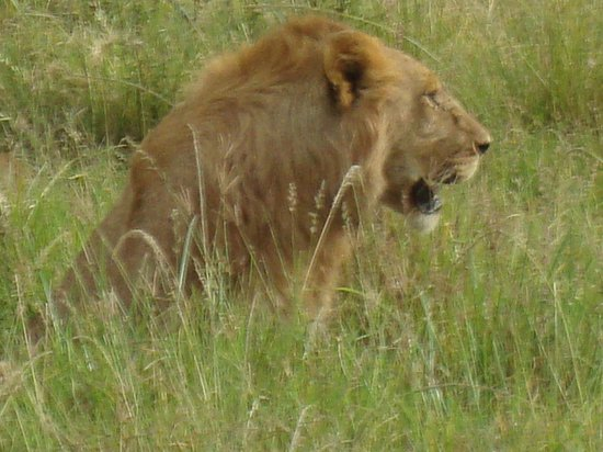 Fairmont Mara Safari Club: Male looking-out for his Pride.