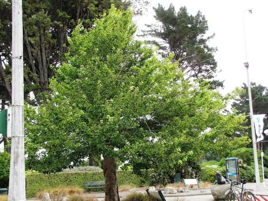 Southland Museum and Art Gallery: Living Fossil tree  Ginko biloba