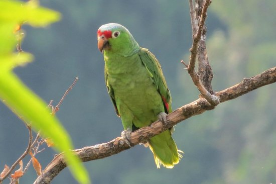 Hotel Costa Verde: Red-lored Parrot  in tree adjacent to our patio