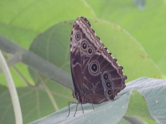 National Museum (Museo Nacional): One of the Morpho butterflies