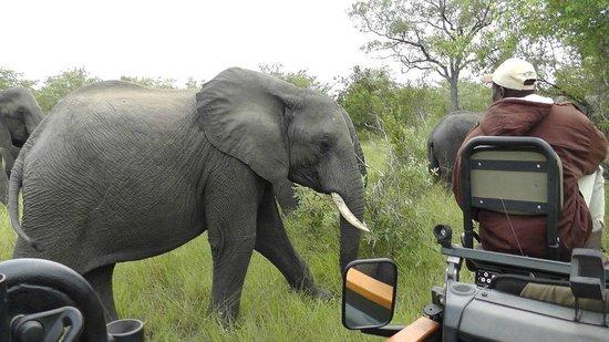 Sabi Sabi Little Bush Camp: Elephant up close and personal