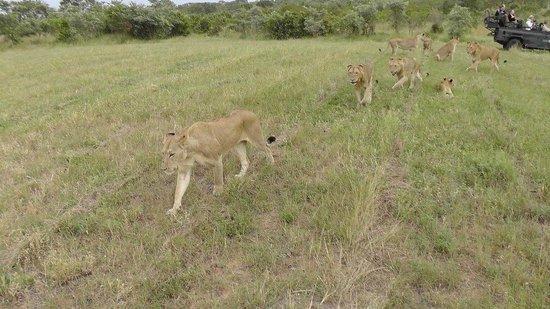 Sabi Sabi Little Bush Camp: Tracking a pride of 14 lions