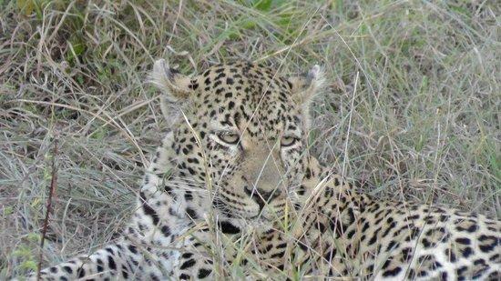 Sabi Sabi Little Bush Camp: Leopard at dusk--I spotted this one!