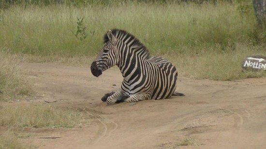 Sabi Sabi Little Bush Camp: Zebra taking a dust bath