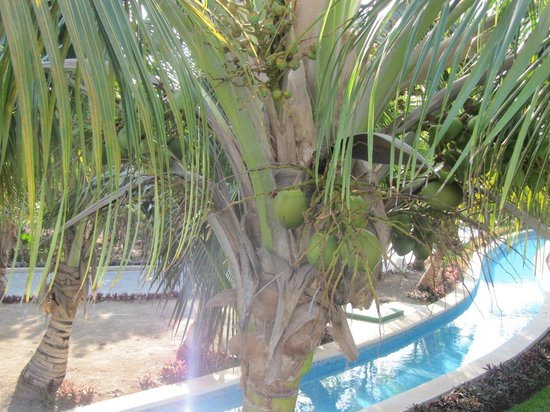 Grand Sirenis Riviera Maya Resort & Spa: coconuts