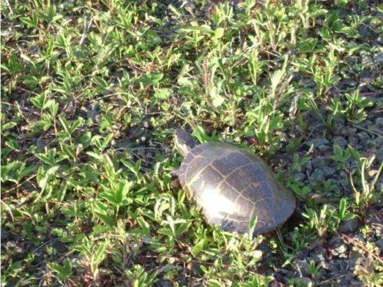 Mountain Top Cottages & Campground : Turtles