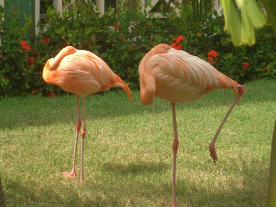 Iberostar Punta Cana: Flamingo's in grounds
