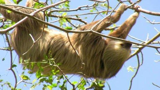 Morgan's Rock Hacienda and Ecolodge: Sloths