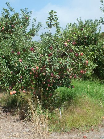 Adelaide Hills Country Cottages: Apple Orchard
