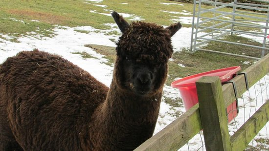 Fairshaw Rigg: Alpaca