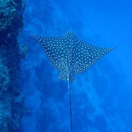 West End Divers: spotted eagle ray