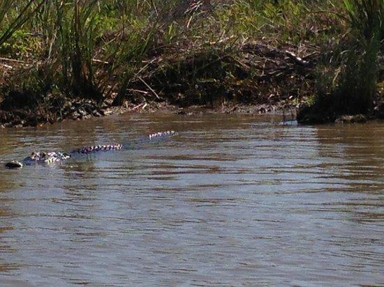 Cajun Encounters: 13 ft alligator