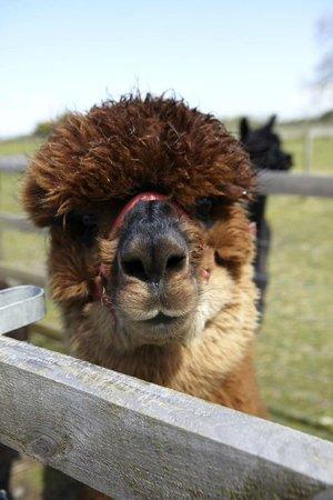 Fairshaw Rigg: Meet the alpacas