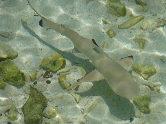 Constance Moofushi : 50cm black tip shark